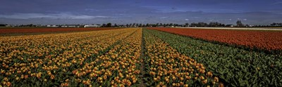 Tulip Field Poster by Duncan for $38.75 CAD