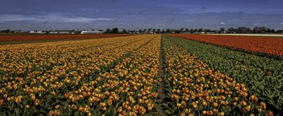Tulip Field Crop Poster by Duncan for $46.25 CAD
