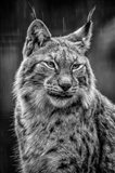 Lynx in the Rain - Black & White