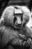 Baboon  Black & White