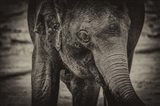 Young Elephant sepia
