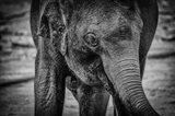 Young Elephant Black & White