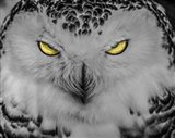 Evil Owl II Black & White