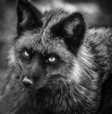 Silver Fox Black & White