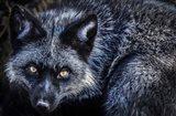 Silver Fox II