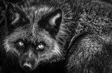Silver Fox II Black & White