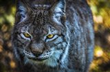 Lynx Front