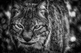 Lynx Front  Black & White