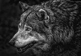 Lone Wolf - Black & White
