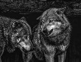 Wolfpack Black & White