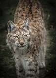Young Lynx Looking Up
