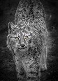 Young Lynx Looking Up - Black & White