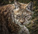 The Lynx II