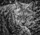 The Lynx II - Black & White