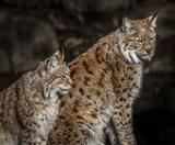 Double Lynx