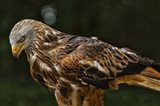 Red Kite Looking Down