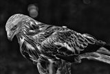 Red Kite Looking Down - Black & White