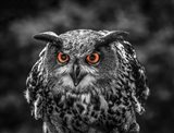 Red Eyed Owl - Black & White