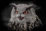 Red Eyed Owl Close Up  - Black & White