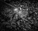 The Lynx Looking Up - Black & White