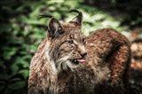 Lynx Tonque