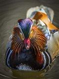 Mandarin Duck II
