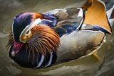 Mandarin Duck III