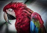 Ara Parrot II