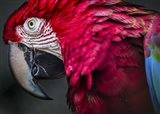 Ara Parrot Close Up II