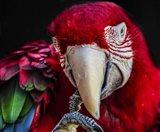 Ara Parrot  III