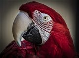 Ara Parrot Close Up III