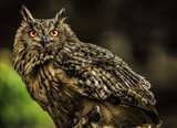 Wise Owl 3