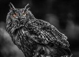 Wise Owl 3 Black & White