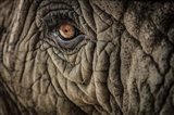 Elephant Close Up II