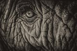 Elephant Close Up II Sepia