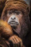 Oranje Monkey