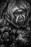 Little Monkey 3 Black & White