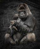 The Male Gorilla