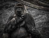 The Male Gorilla 2 Black