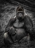 The Male Gorilla 3