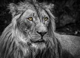 The Lion - Black & White