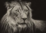The Lion Sepia