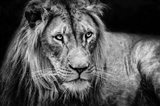 The Lion II - Black & White