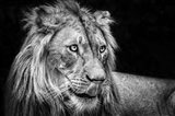 The Lion III - Black & White