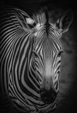 Zebra 5 Black & White
