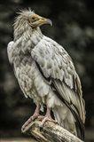 White Vulture 2