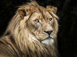The Lion V
