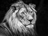 The Lion V - Black & White