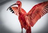 Red Bird V