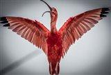 Red Bird VI